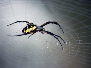 Image Credit:  http://wallpapers.wisdly.com/1600x1200/details.php?show=Black-and-Yellow-Argiope-Clearwater-Florida