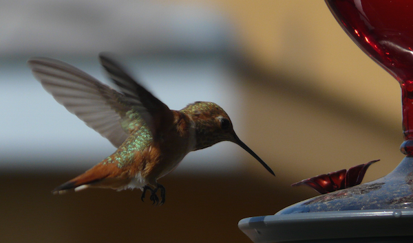 A hummingbird at our feeder.