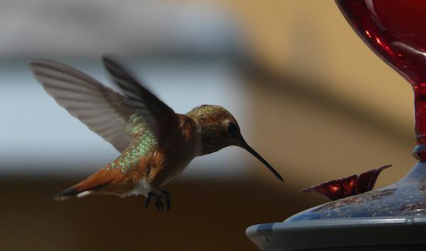 A hummingbird at our feeder.